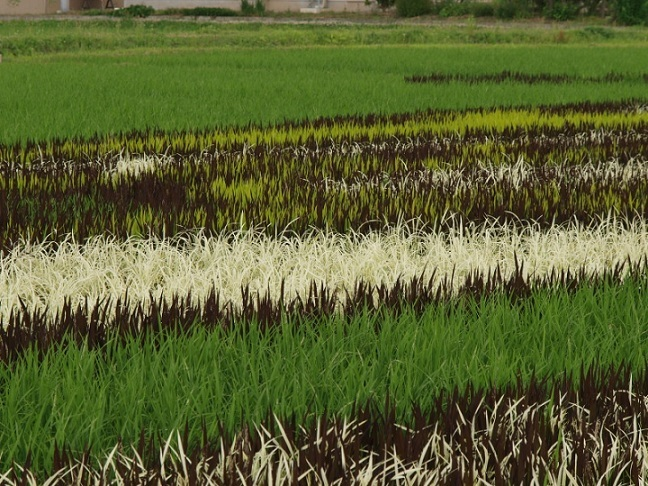 rice_paddy_art-03