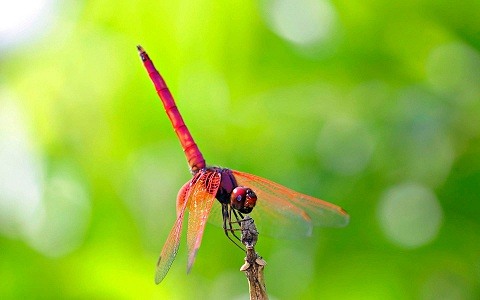 red-dragonfly